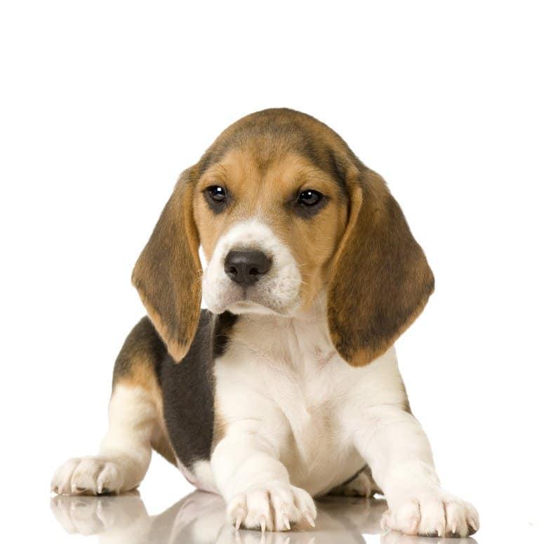 Donner des ordres, dresser et éduquer son beagle