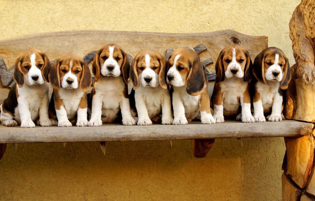 Acheter un beagle une superbe race de chien