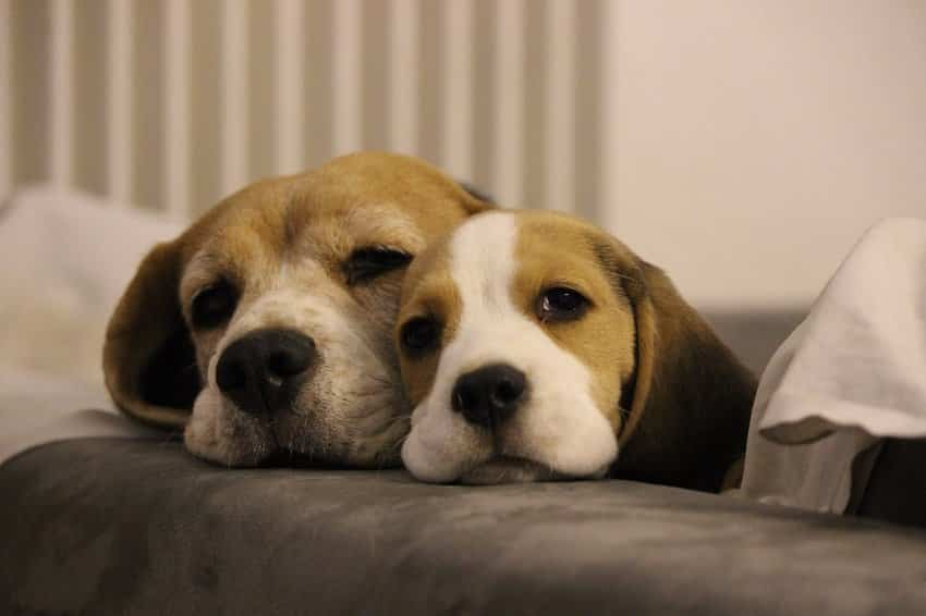 Beagle ajouter