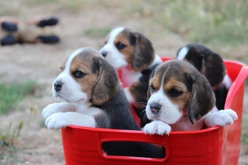 Quel est le prix d 39 un beagle o l 39 acheter - Couper les griffes d un chiot ...