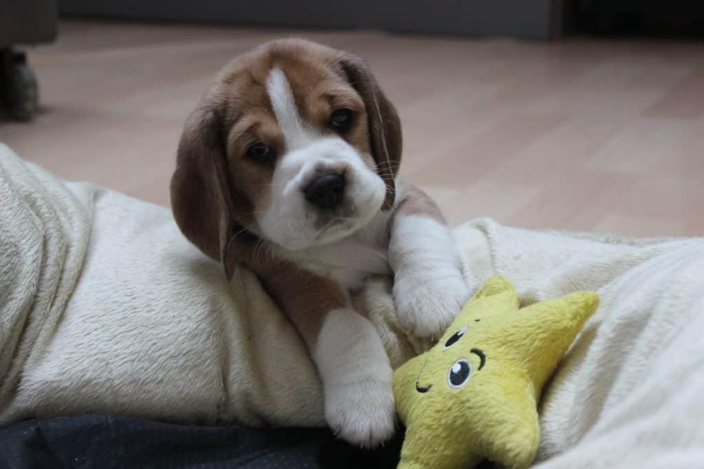beagle chien et chiot de compagnie et de chasse tout savoir sur la race. Black Bedroom Furniture Sets. Home Design Ideas