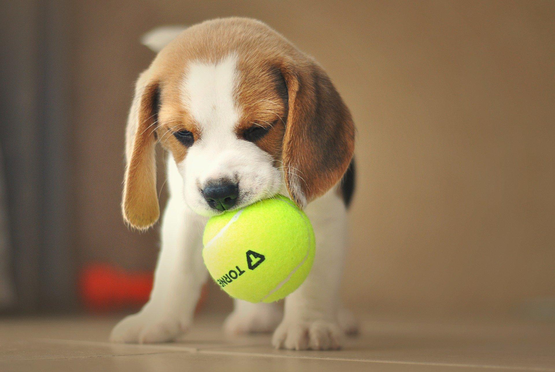 beagle en appartement