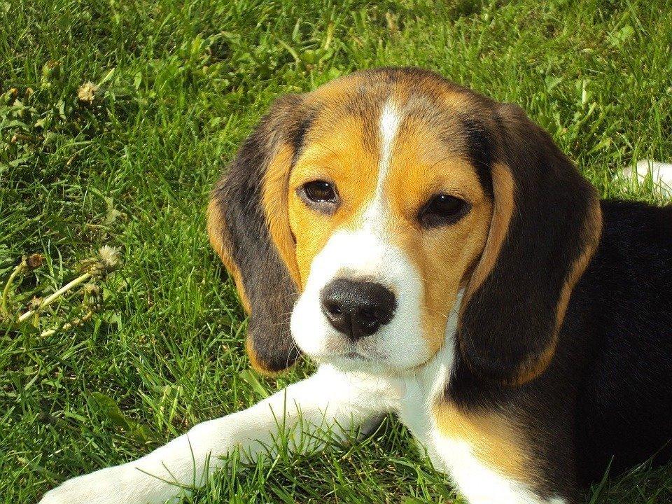 dresser beagle