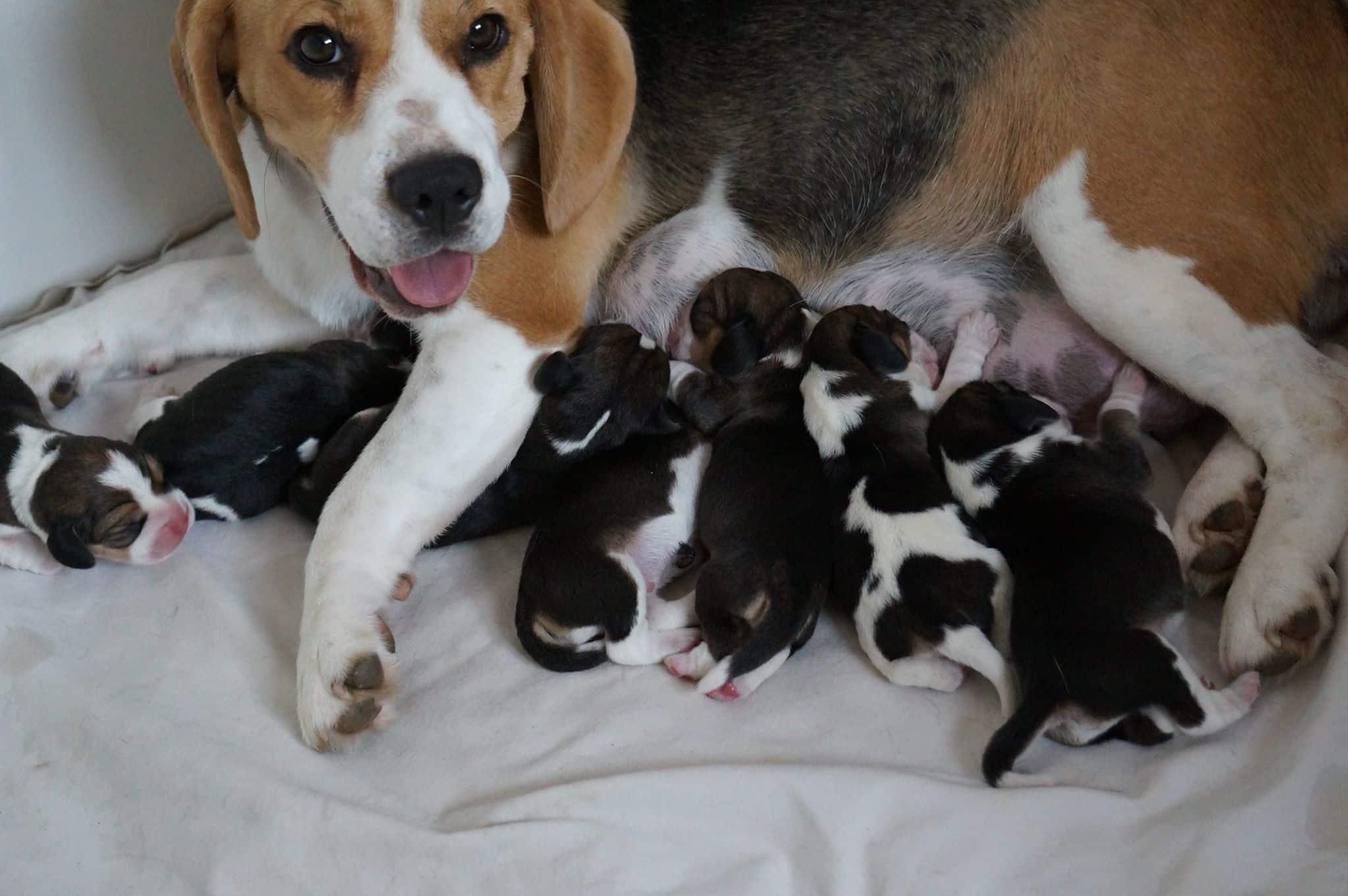 Adoption chiot
