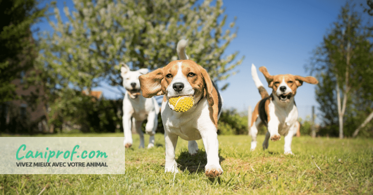 groupe beagle facebook