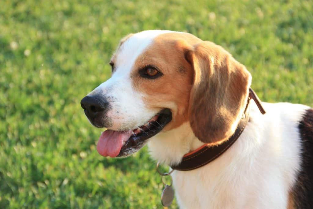 beagle bave