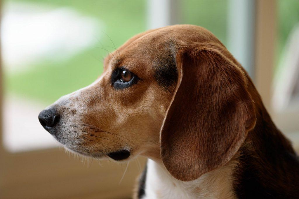 choisir beagle