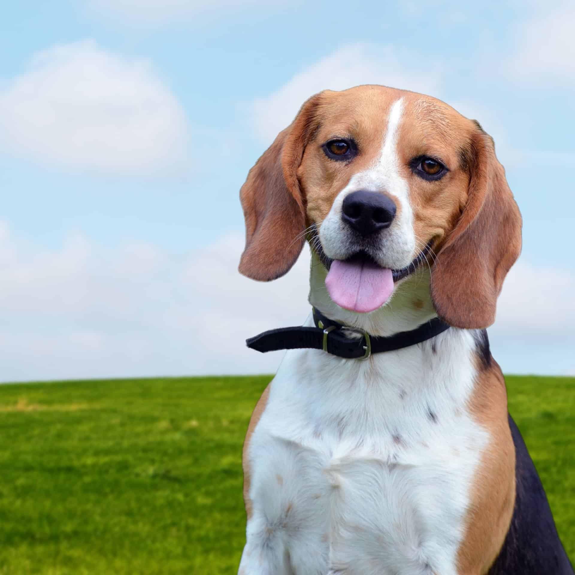beagle à donner